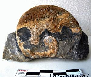 Ammonite sp.