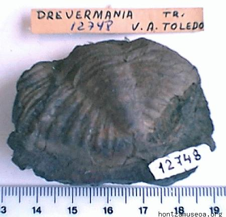 Drevermania sp.